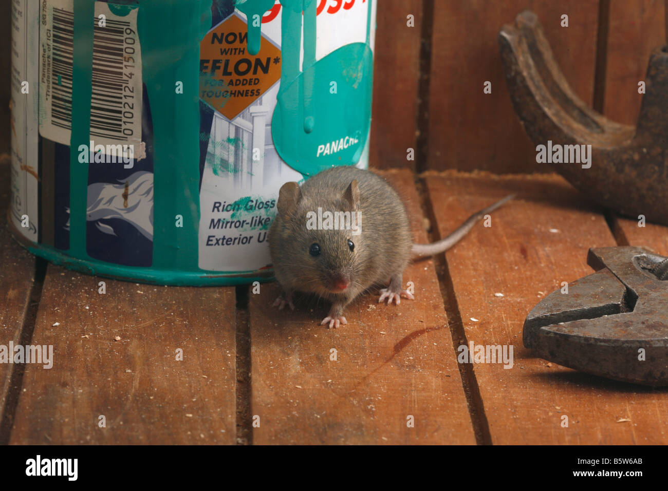 House mouse Mus musculus Midlands UK - Stock Image
