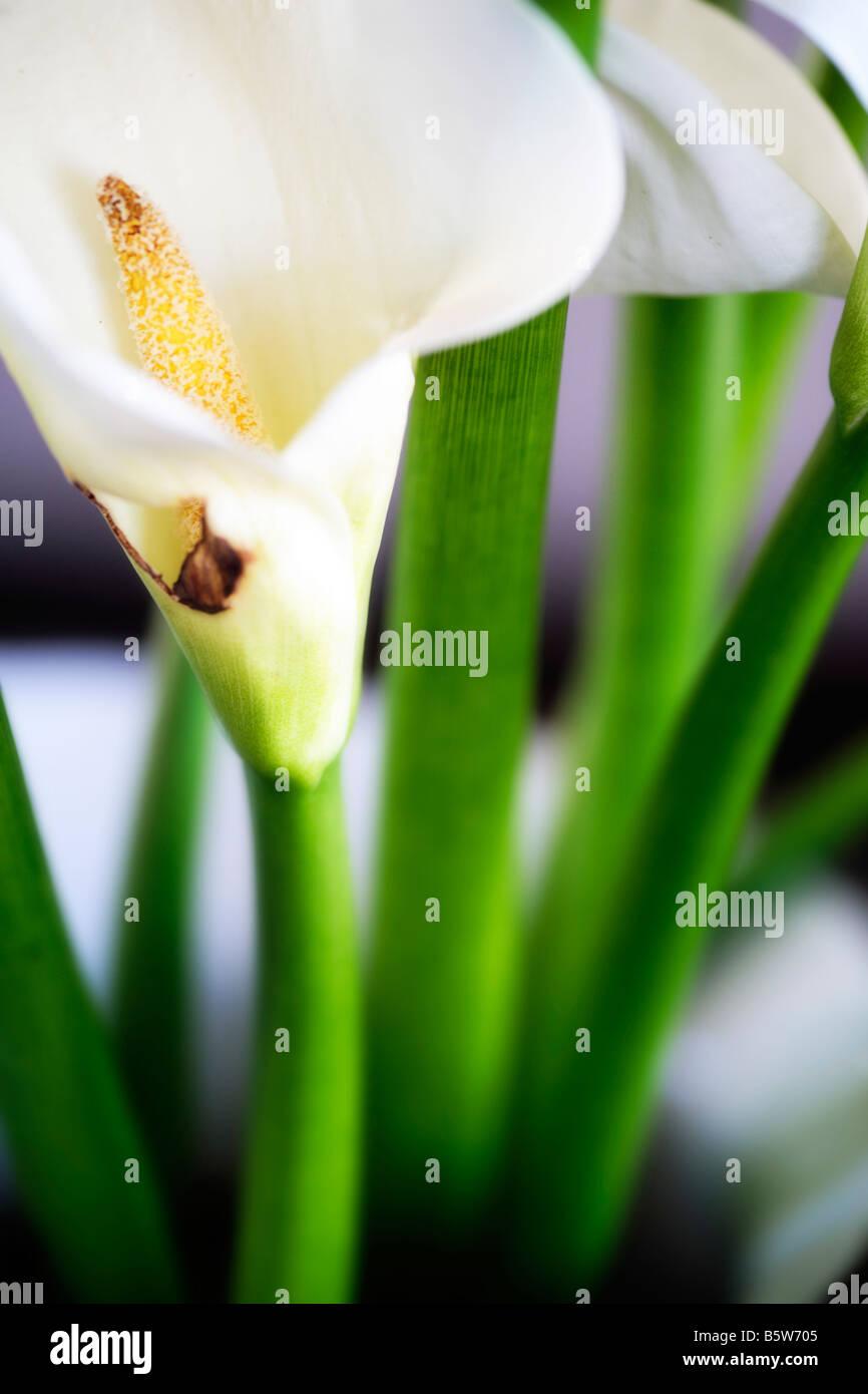 Calla Arum Lily - Stock Image