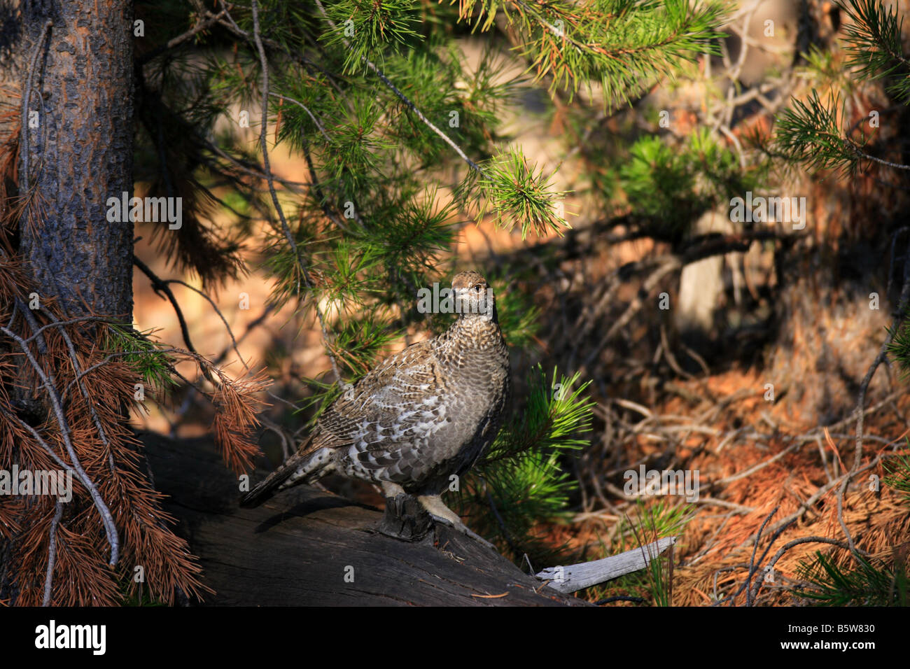 Male Blue Grouse in fall plumage, Yellowstone National Park, Wyoming - Stock Image