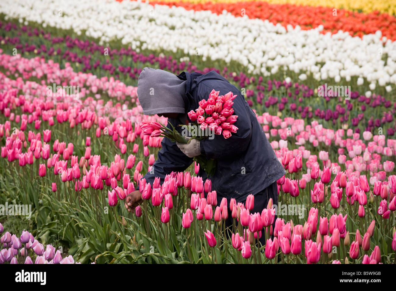 Farm worker in tulip agriculture field of cut flowers at Tulip Festival Skagit Valley Washington - Stock Image