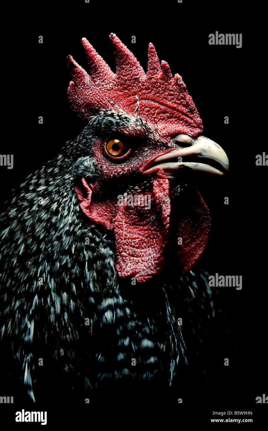 Portrait of a cockerel on a black background Stock Photo