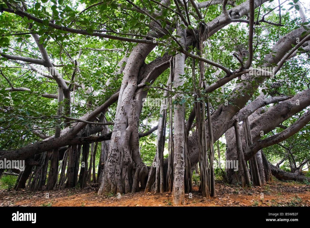 Ficus Benghalensis. Thimmamma Marrimanu banyan tree, Near Kadiri, Andhra Pradesh, India. South india's largest banyan Stock Photo