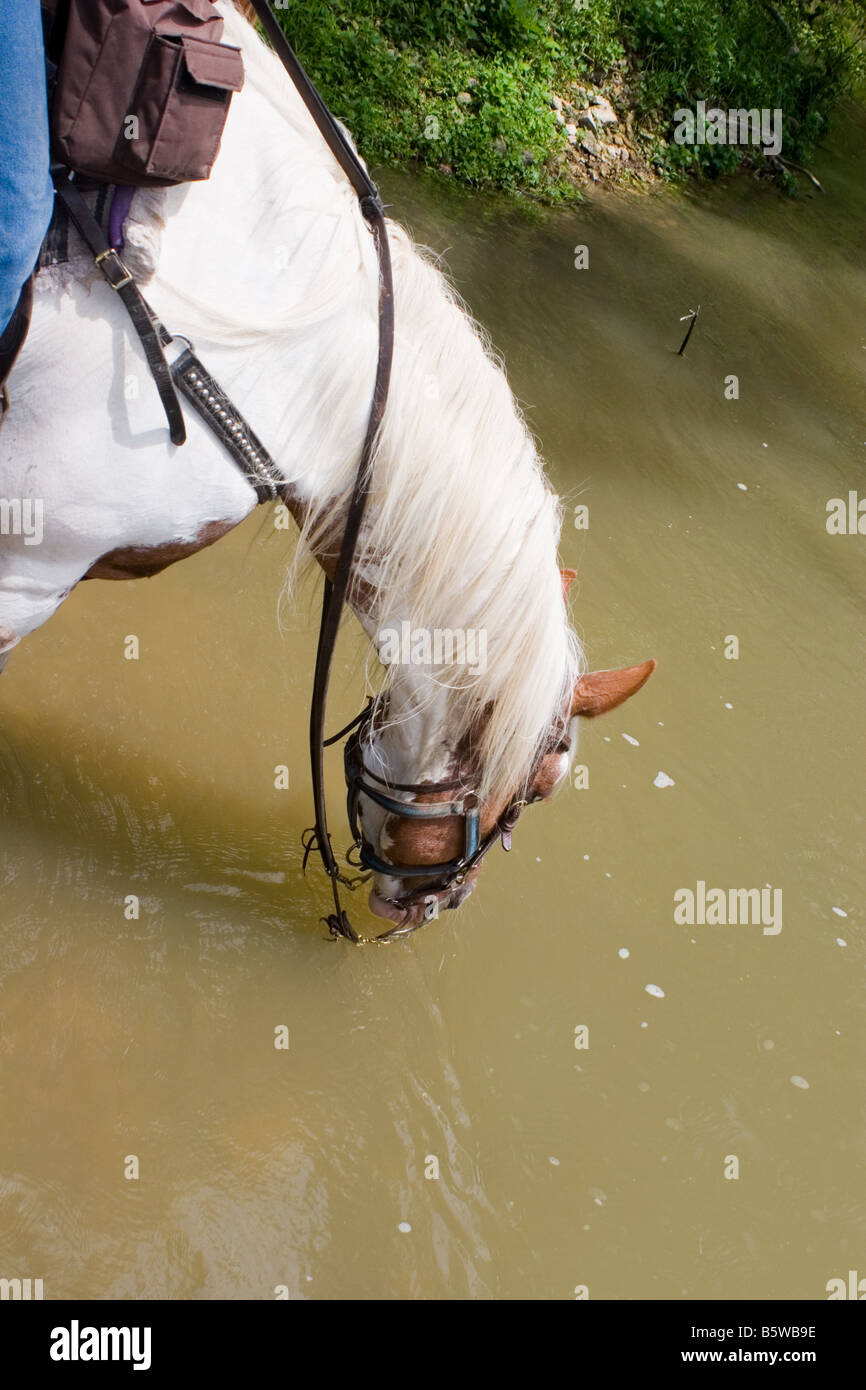 Paint horse on a trail ride drinking water from a river - Stock Image