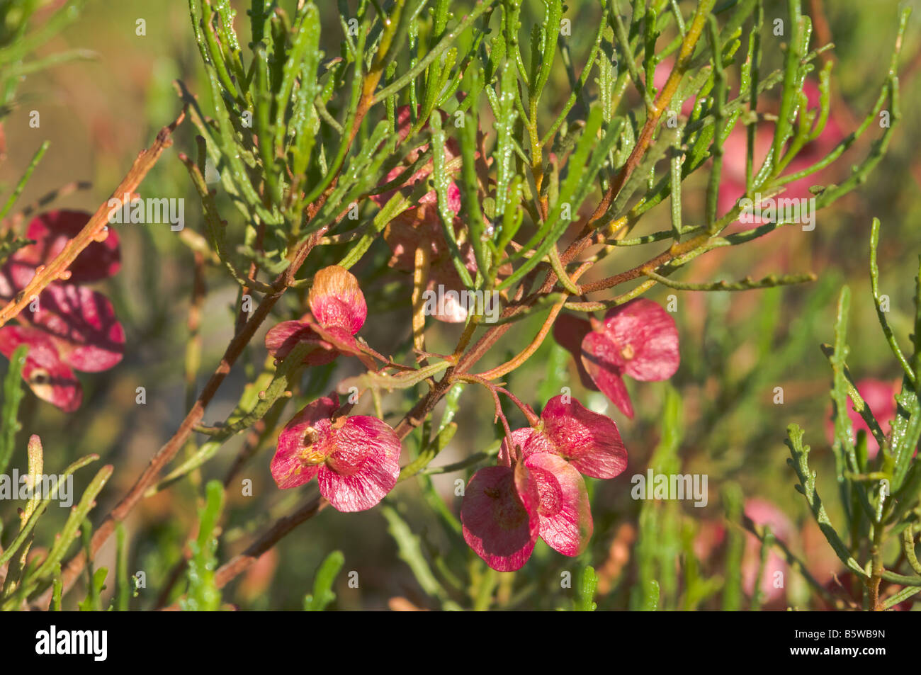 Australian arid country native, the Lobe-leaved hop-bush - Stock Image
