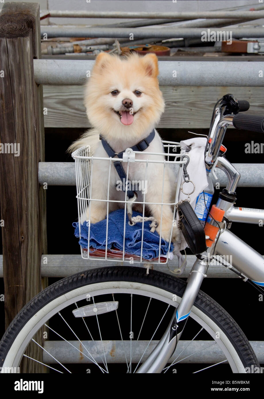 A Pomeranian waits for his master in a bicycle basket on the Harborwalk in Georgetown, South Carolina. - Stock Image
