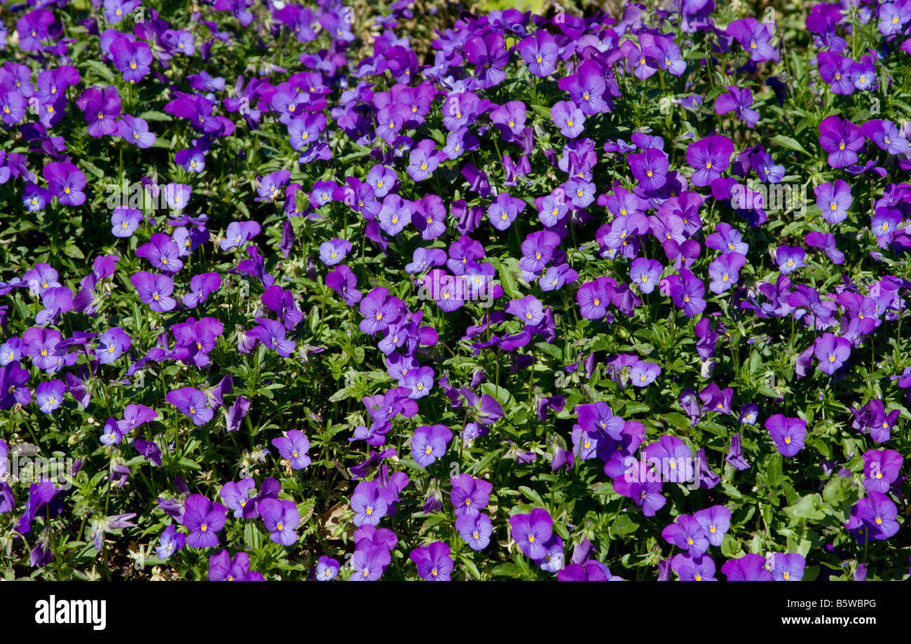 A bed of purple pansies blooms in South Carolina in early April. Pansies are winter bloomers in the southern US. - Stock Image