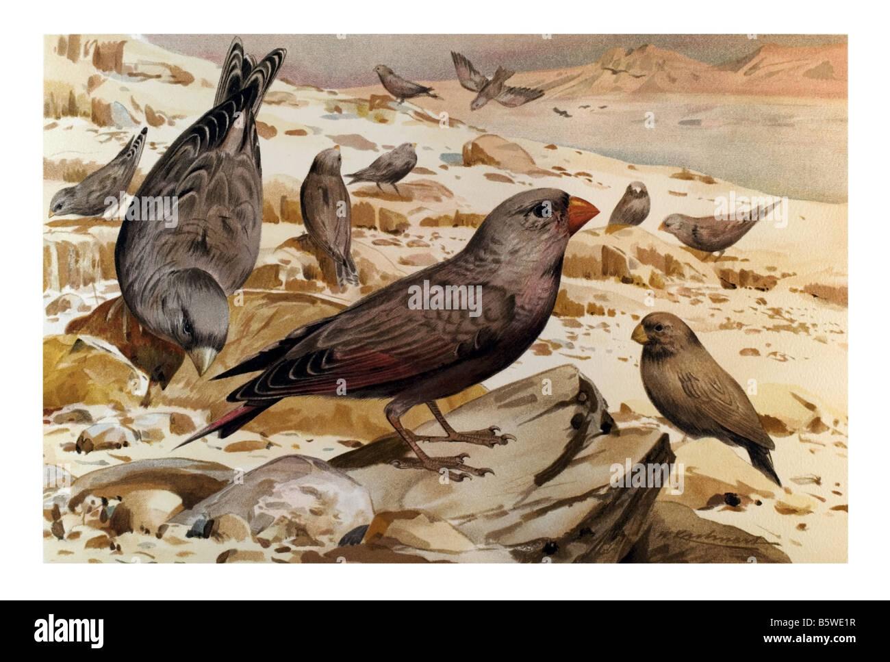 Rhodopechys githaginea, Finches Order Passeriformes Suborder Passeri Family Fringillidae - Stock Image