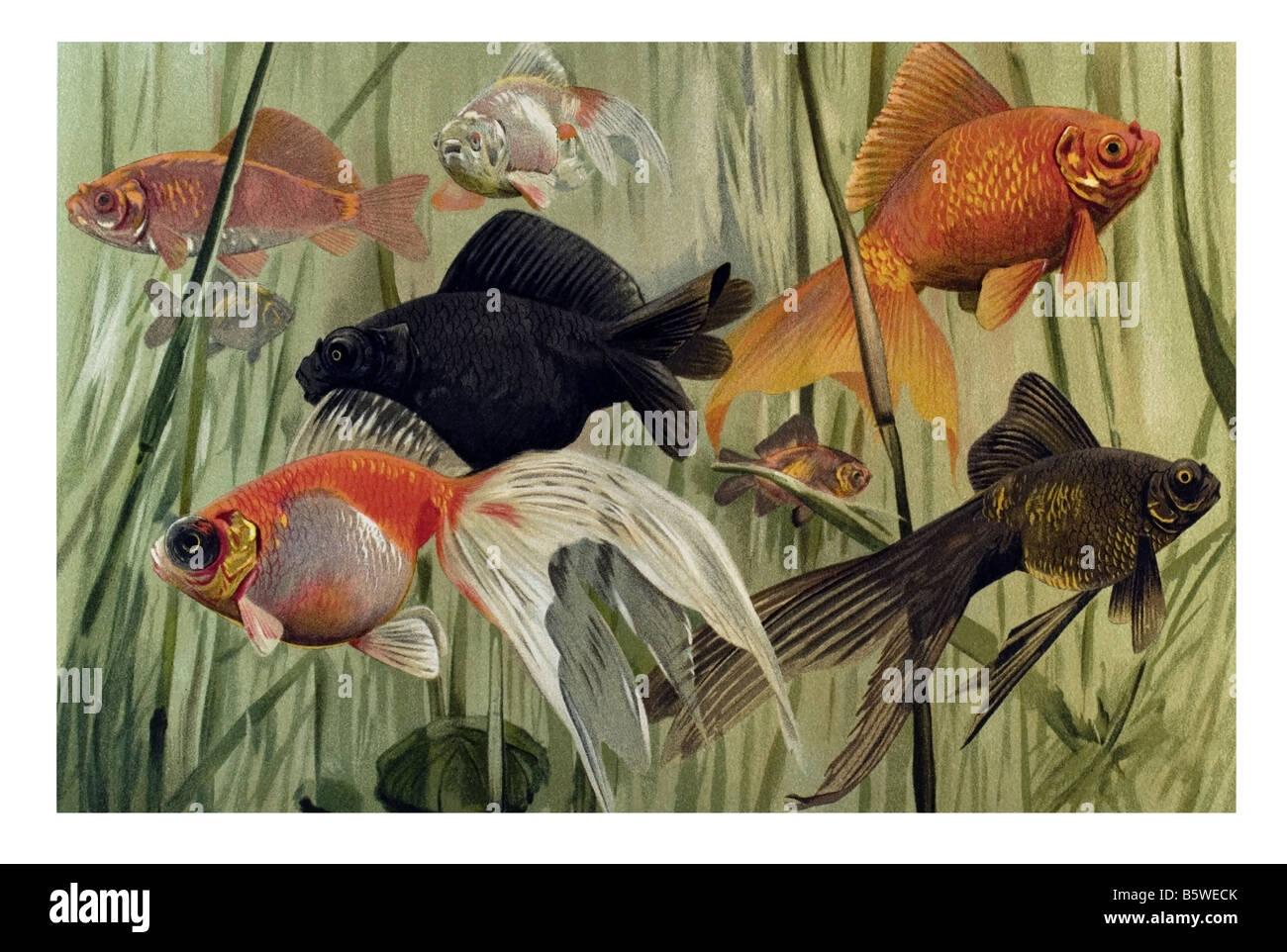 Goldfish, Carassius auratus domesticated fish aquarium fish water garden fish carp family Cyprinidae Stock Photo