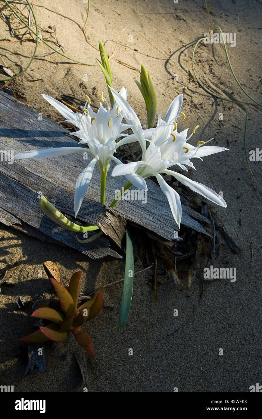 flowering of Pancratium maritimum in the national park of the Circeo in Italy - Stock Image
