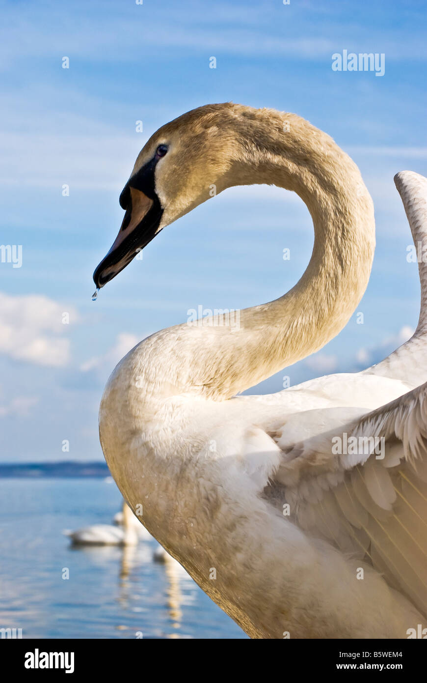 Portrait pose of a young male muet swan in an aggressive stance - Stock Image