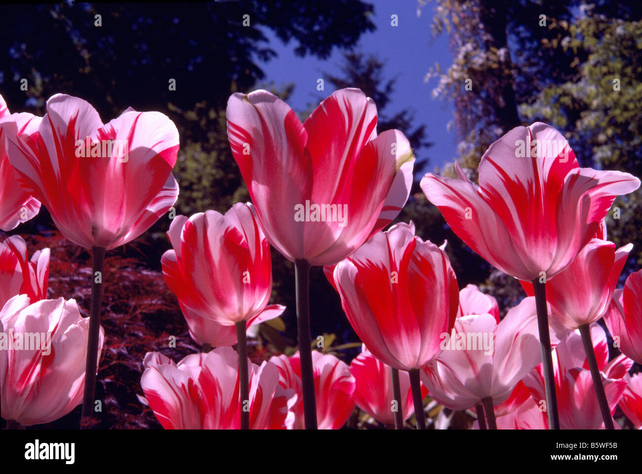 Red And White Tulips Tulip Bloom Spring Flowers Blooming Flower