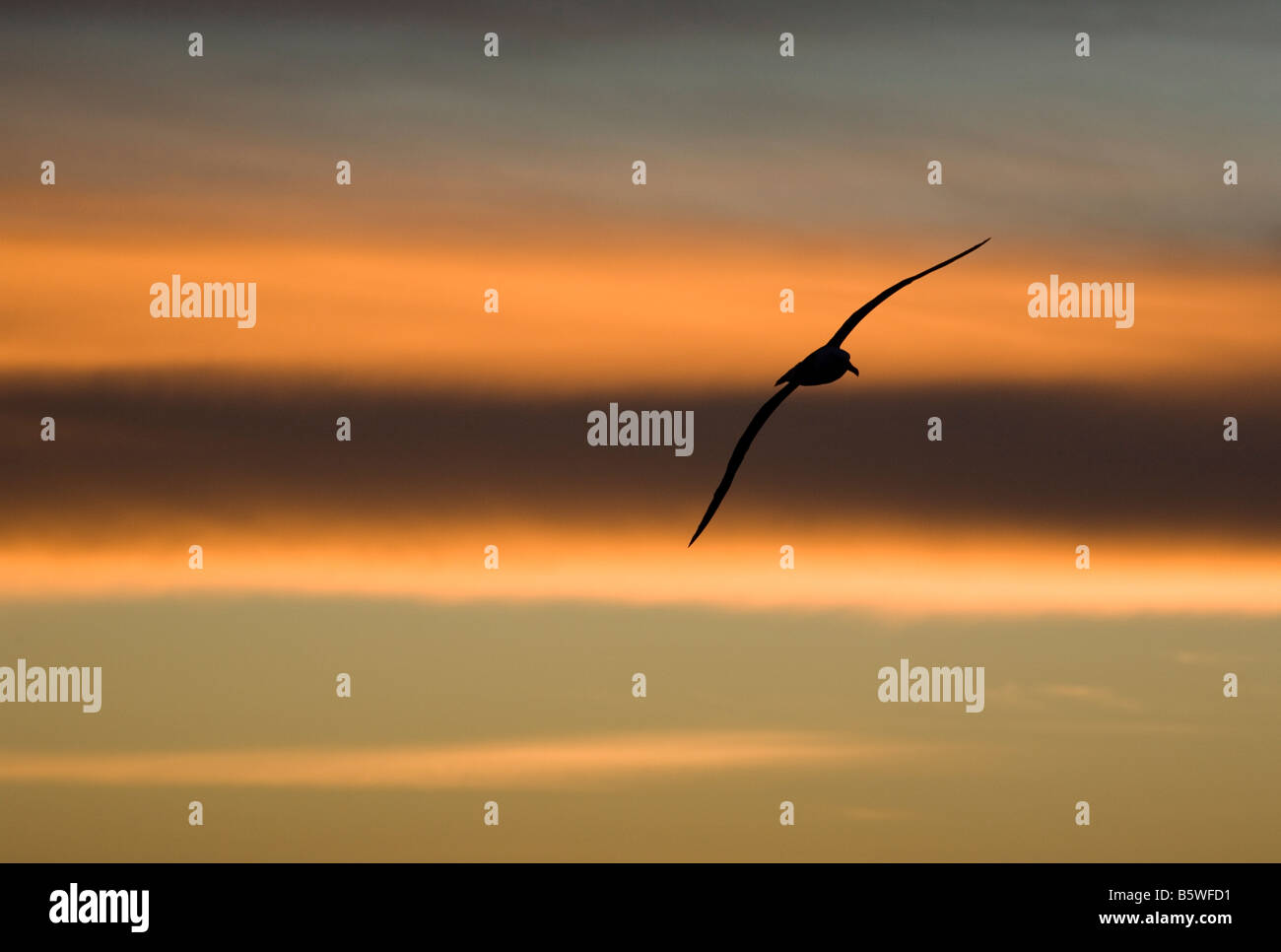 Silhouette of Black-Browed Albatross (Diomedea melanophris) Flying at Sunset over Southern Ocean - Stock Image