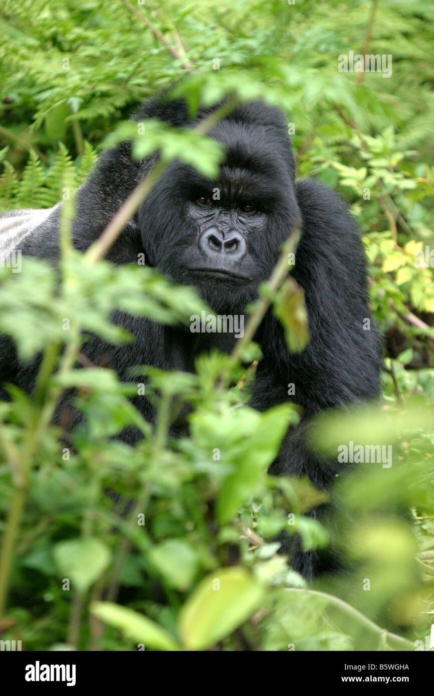 The Mountain Gorillas of Rwanda - Stock Image