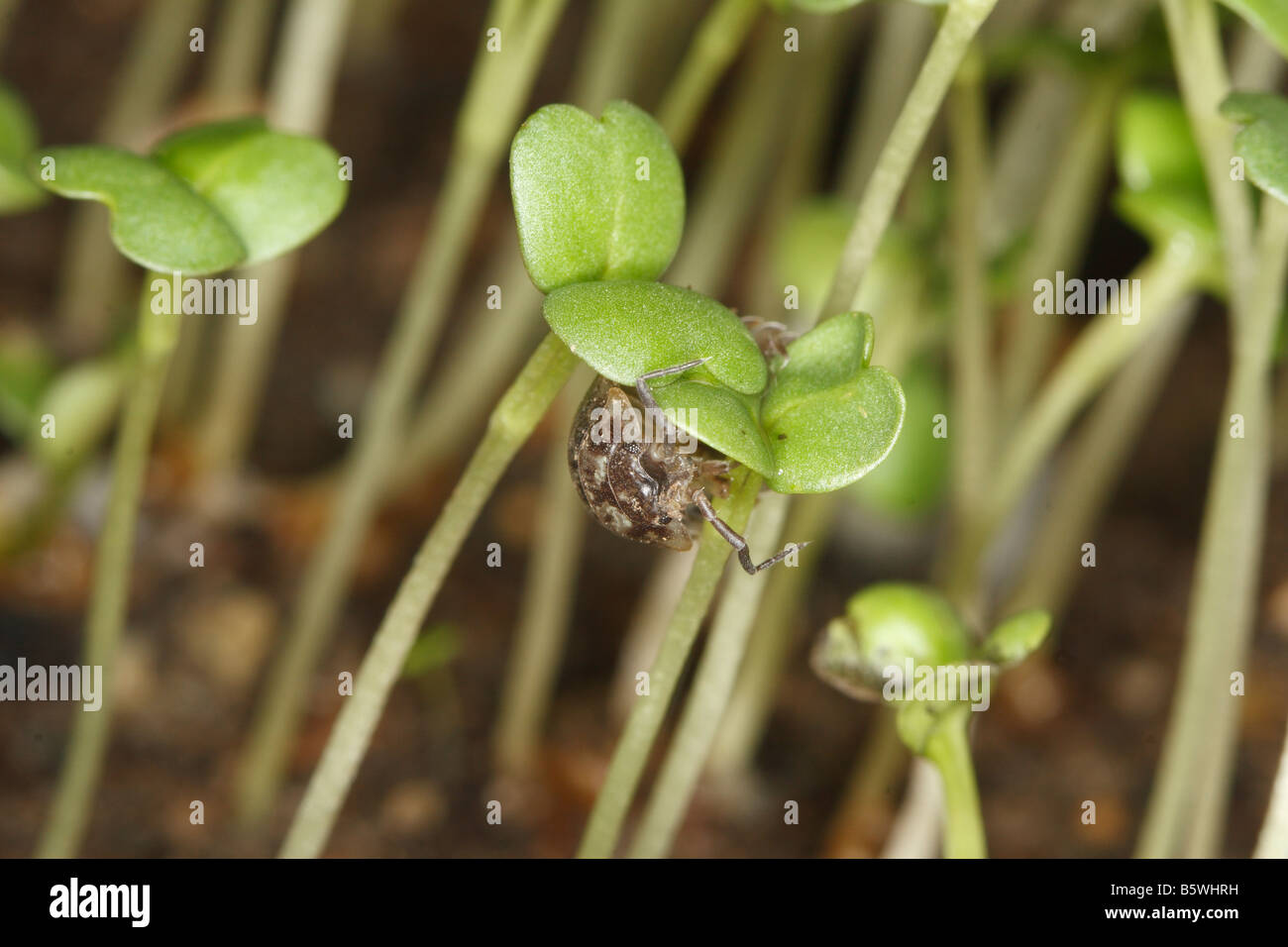 WOOD LOUSE Oniscus asellus FEEDING ON GERMINATING SEEDLING AT NIGHT - Stock Image