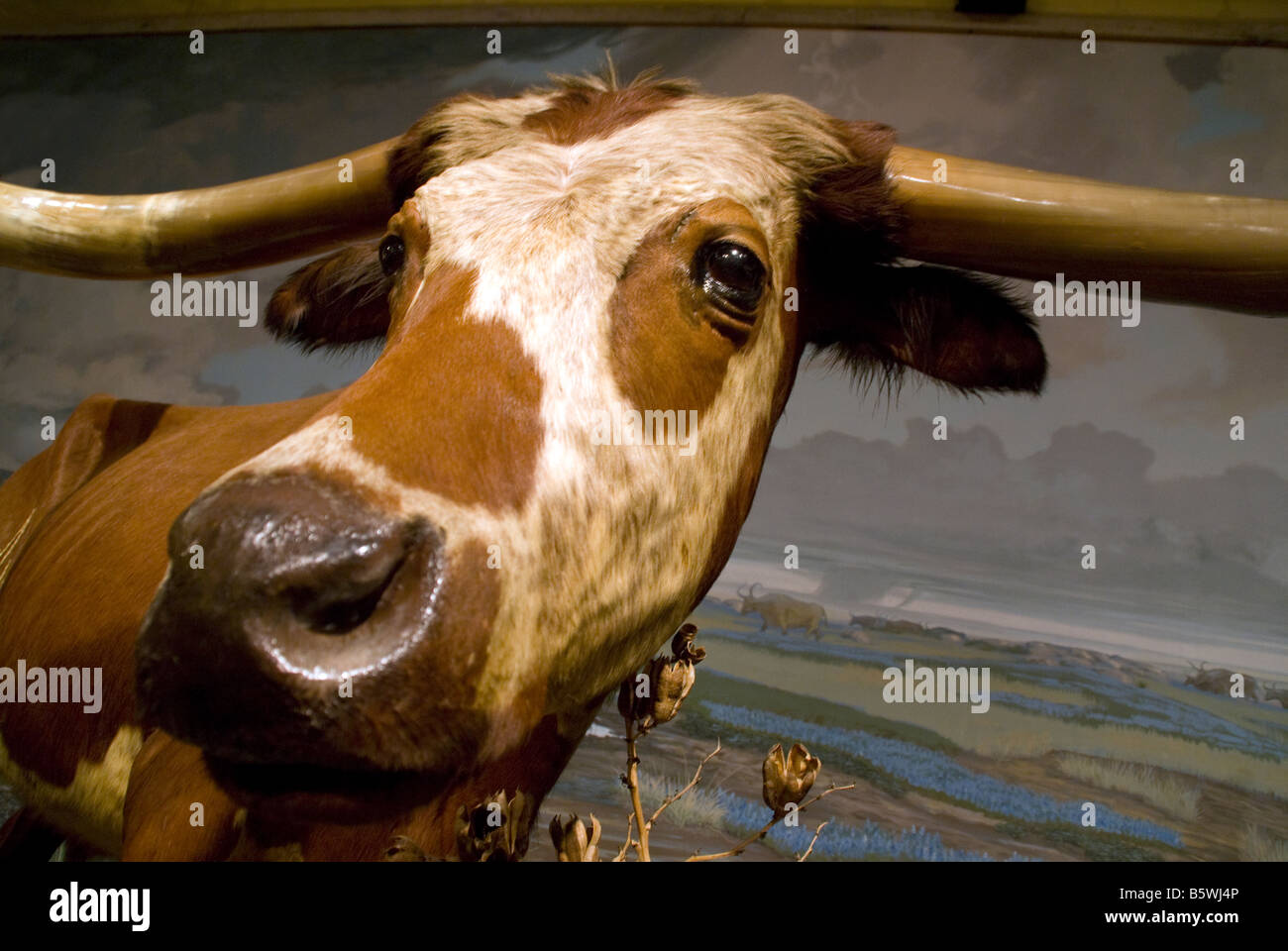 Texas longhorn steer on display at San Antonio's Buckhorn Saloon Museum - Stock Image