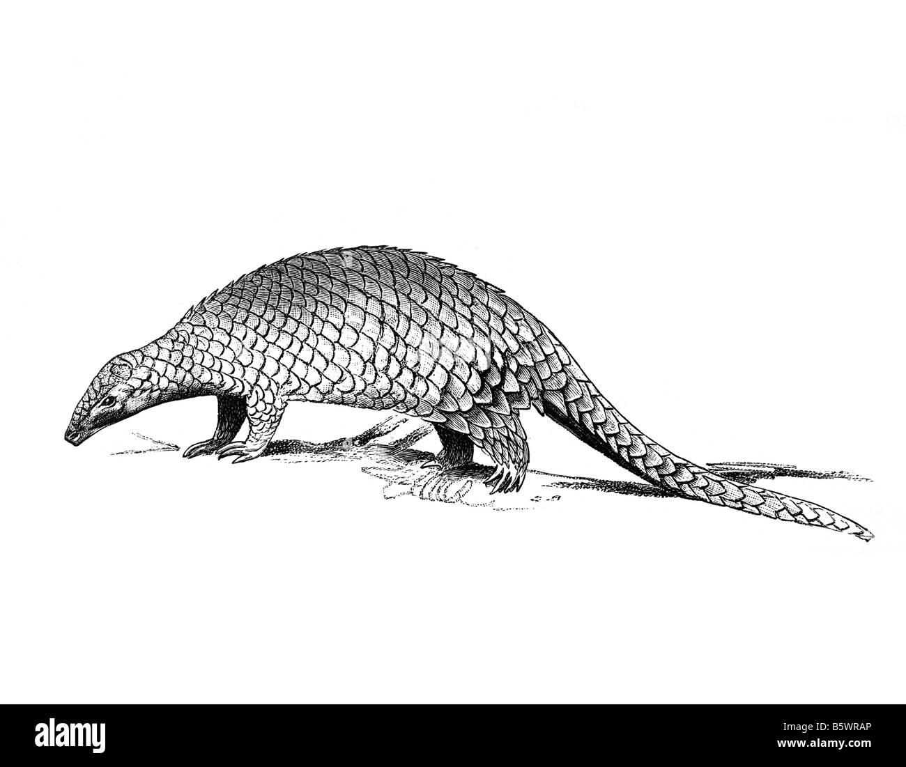 pangolin, pangolins scaly anteaters order Pholidota - Stock Image