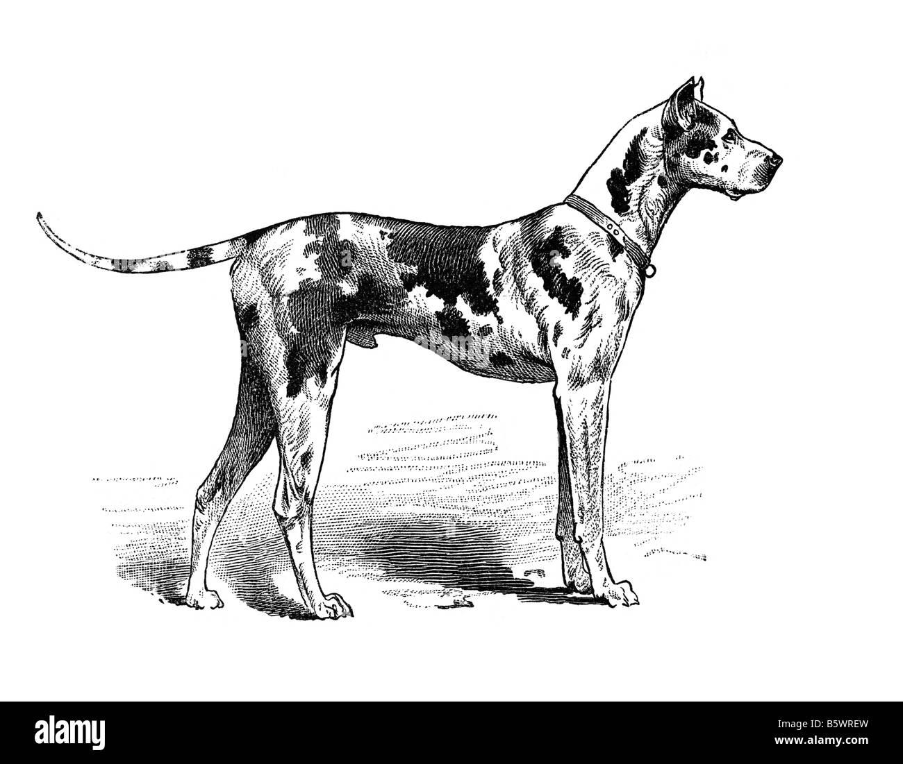 Great Dane, Danish Hound or German Mastiff domestic dog Canis lupus familiaris - Stock Image