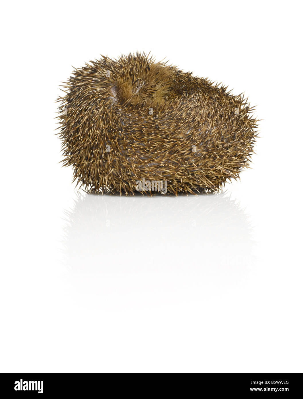 A curled up Hedgehog - Stock Image