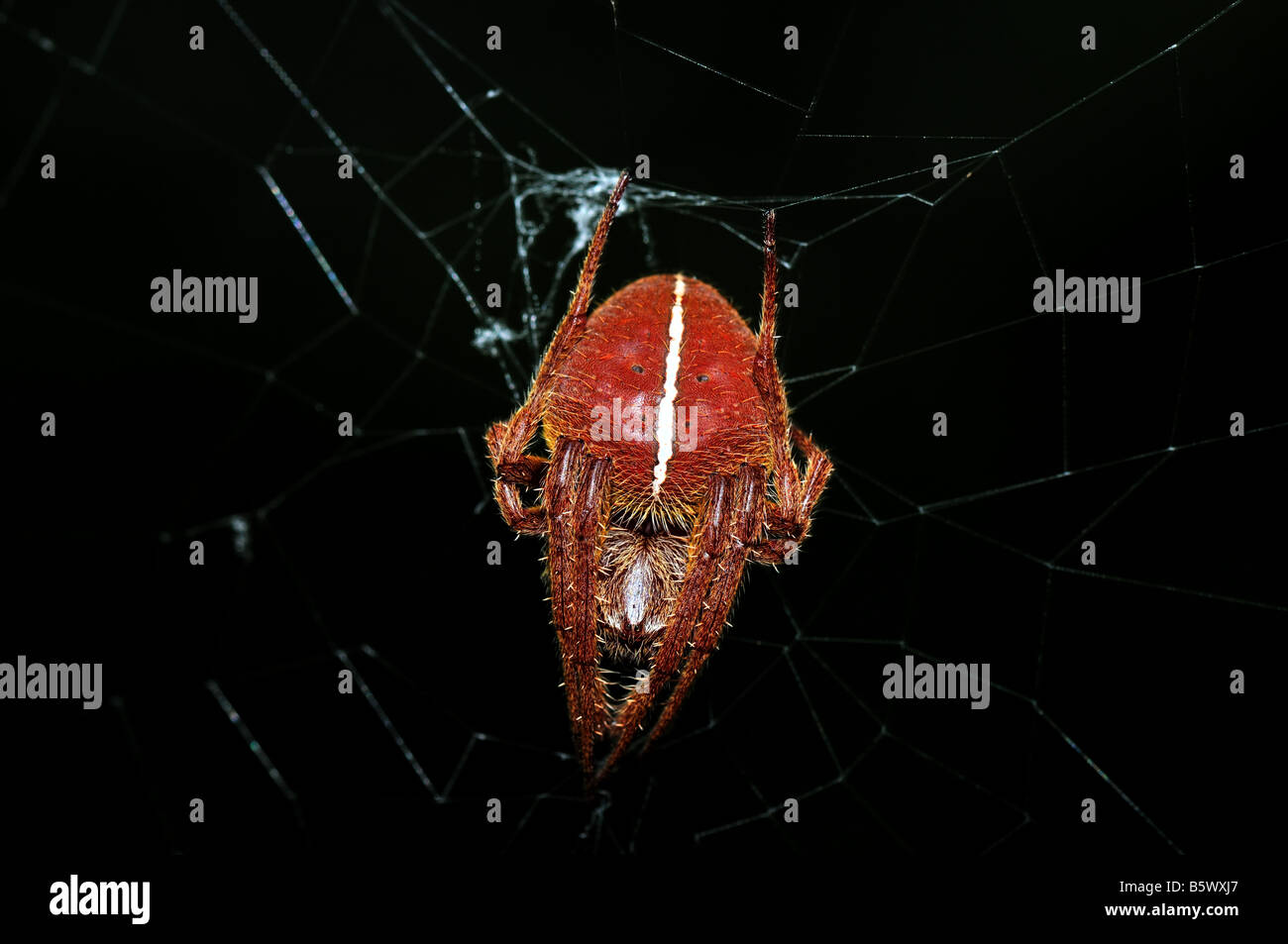 Red Orb Weaver spider. - Stock Image