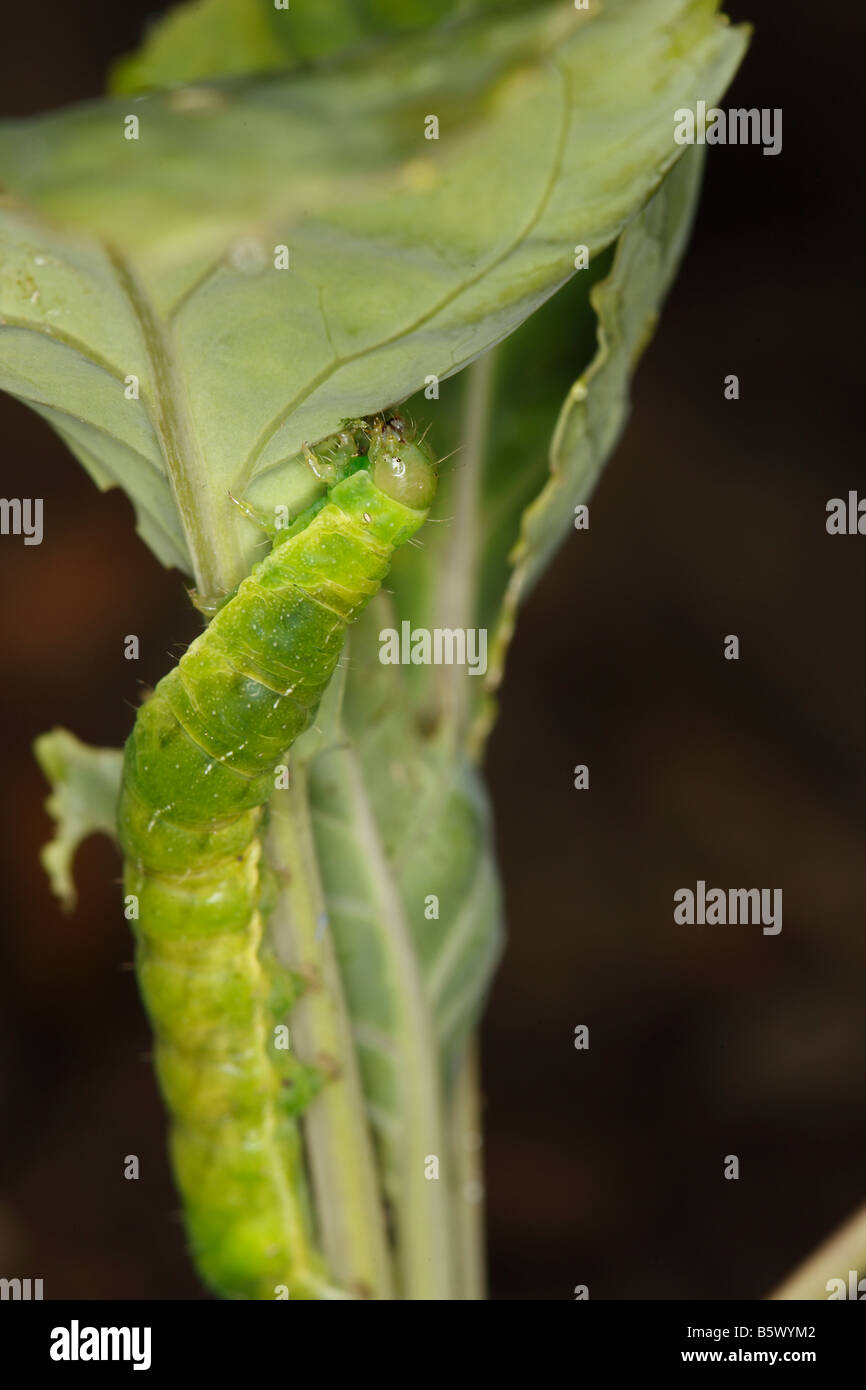 CUTWORM Noctuid caterpillar FEEDING ON YOUNG CABBAGE PLANT AT NIGHT - Stock Image