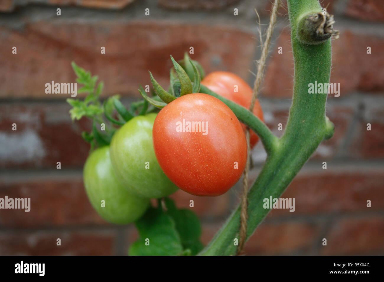 TOMATO Solanum lycopersicum PINK PLUM CLOSE UP OF FRUIT - Stock Image