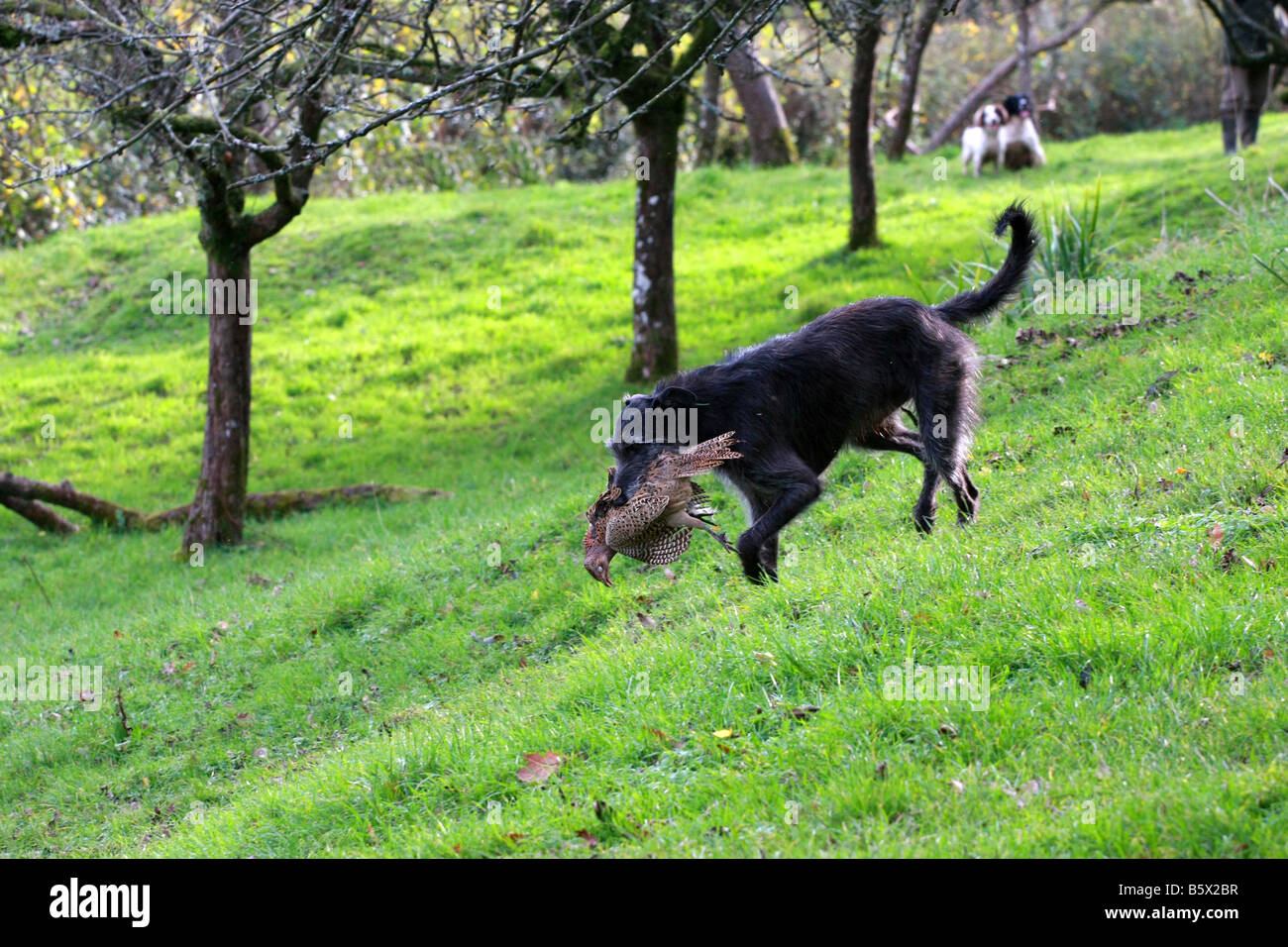 Deer hound lurcher cross working dog retrieves shot dead pheasant from organised game bird shoot carrying it in - Stock Image
