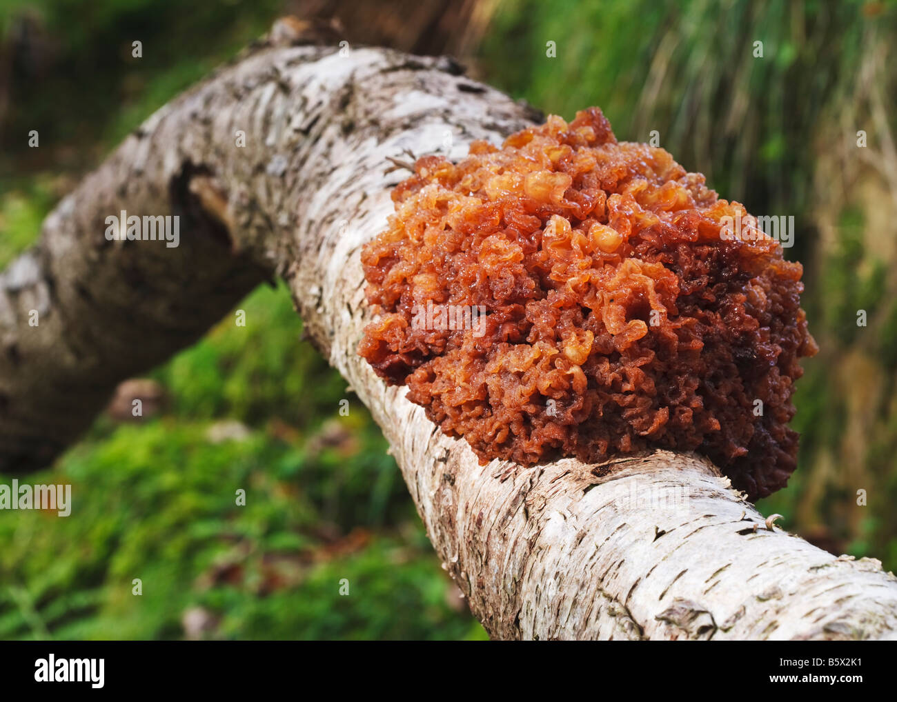 Large clump of tremella mesenterica (Yellow Brain Fungus) growing on the side of a silver birch tree in a British - Stock Image