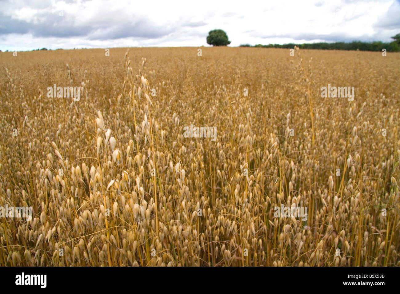 Field of ripe oats in the Cotswolds of West Central England - Stock Image