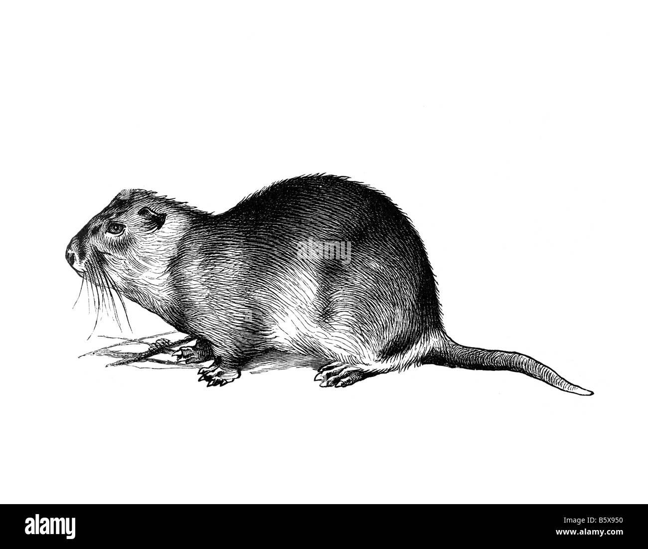 degu, family Octodontidae rodents - Stock Image