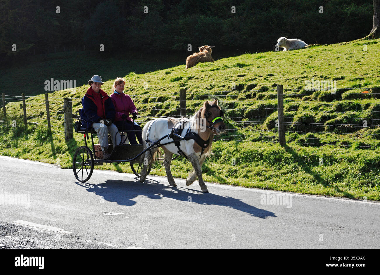 1309 Pony Trap Powys Wales UK - Stock Image