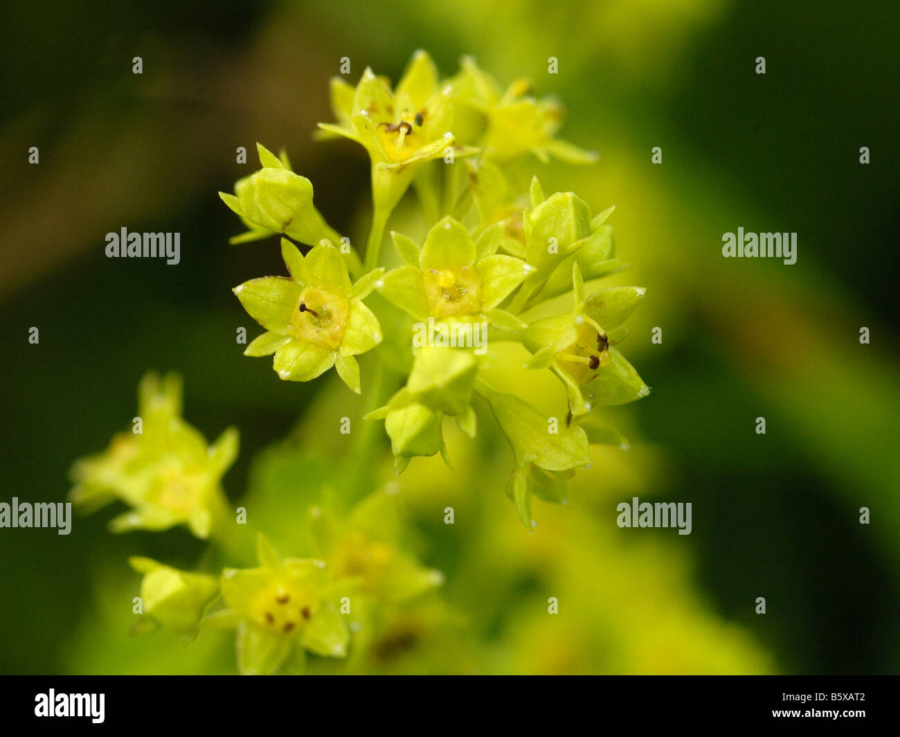 Smooth Lady's mantle, alchemilla glabra - Stock Image