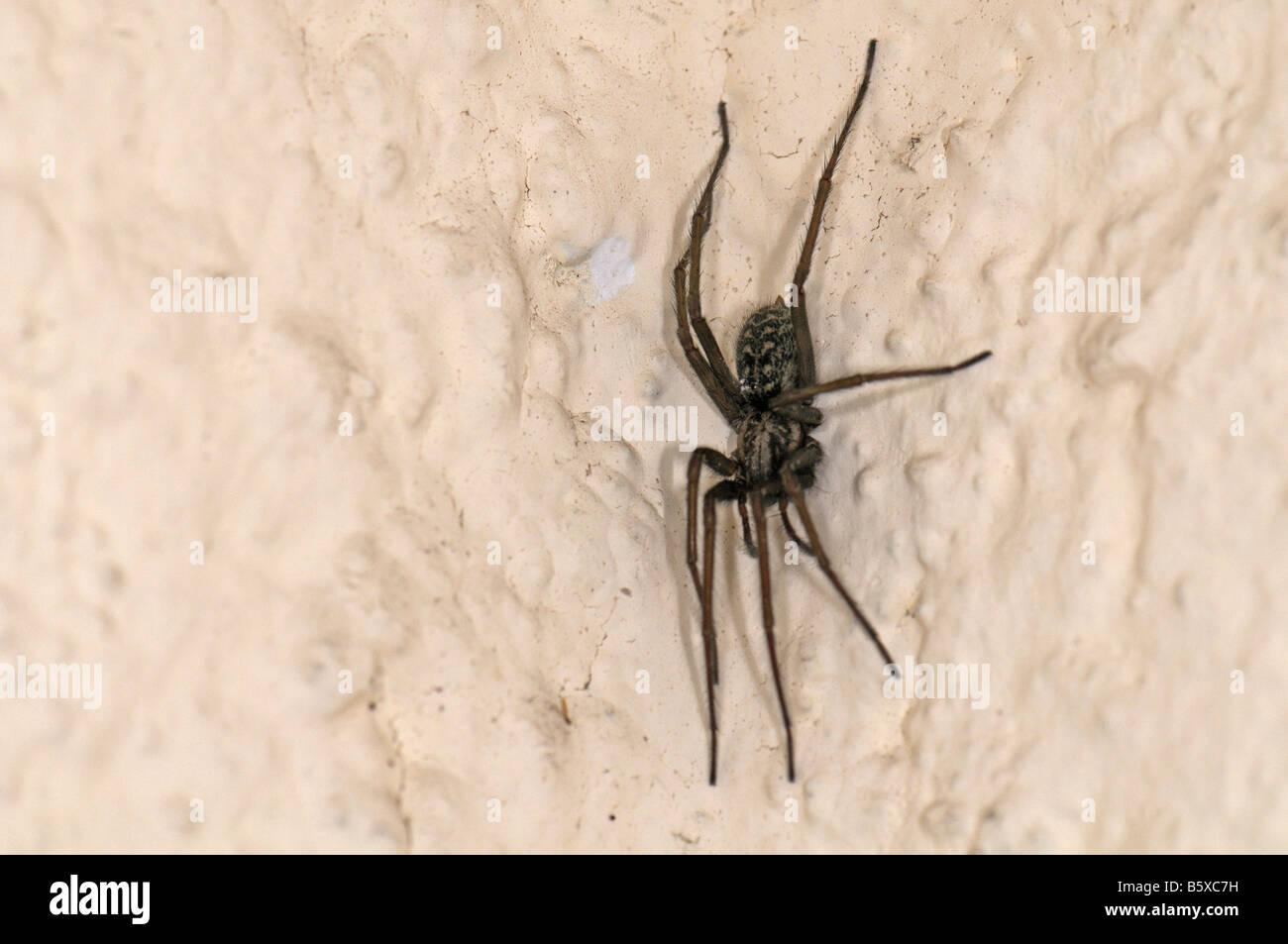 Giant European House Spider (Tegenaria atrica, Tegenaria gigantea) on a wall - Stock Image