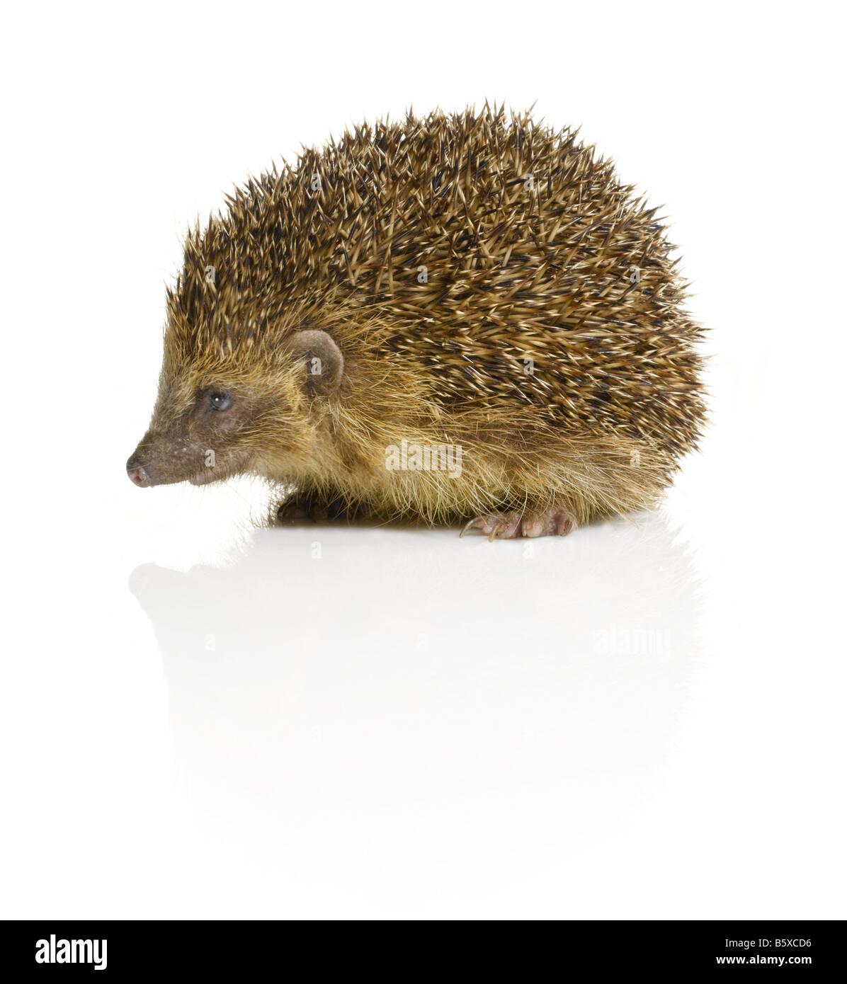 A Hedgehog - Stock Image