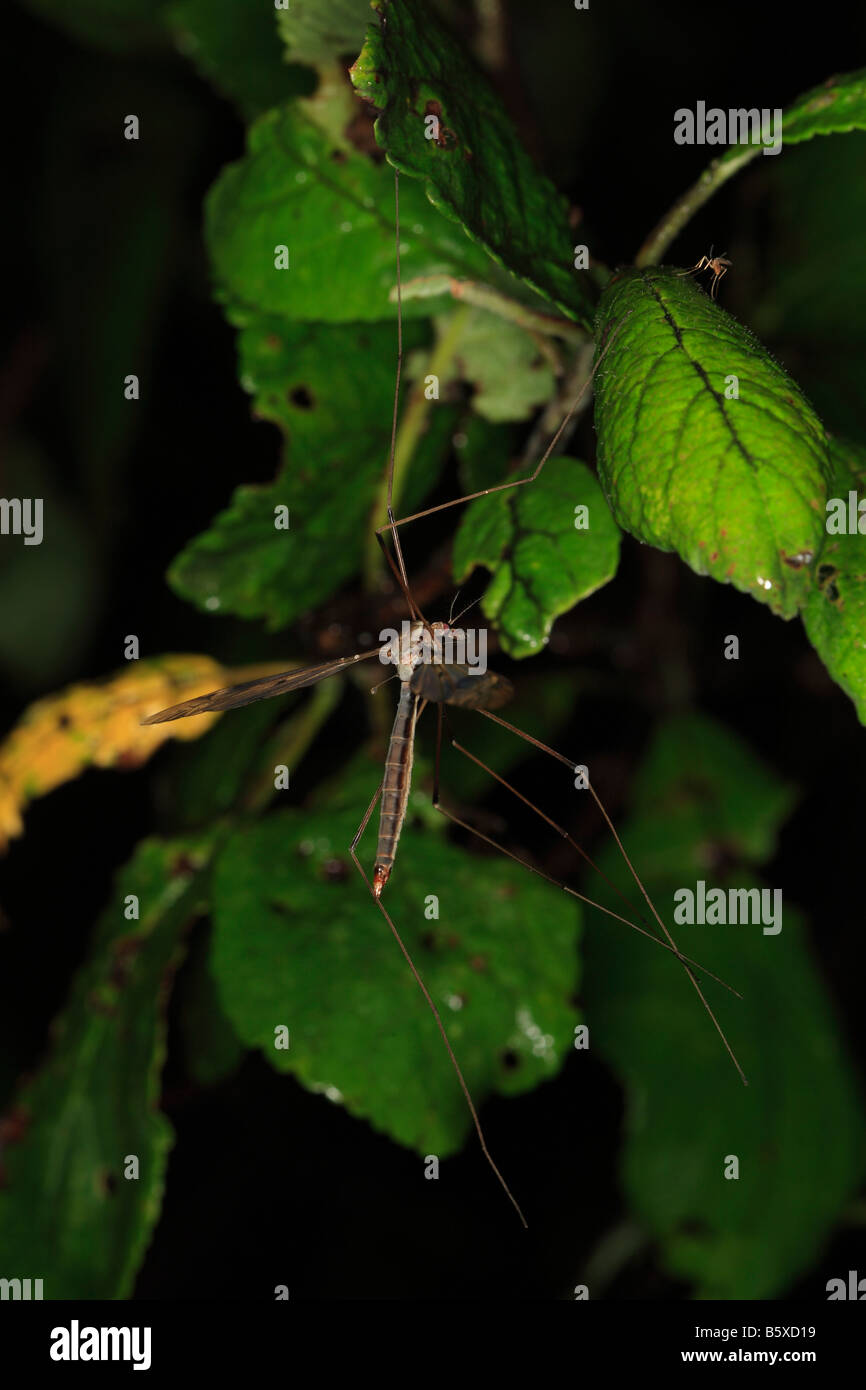 CRANEFLY Tipula spp RECENTLY HATCHED INSECT HANGING FROM LEAF AT NIGHT - Stock Image