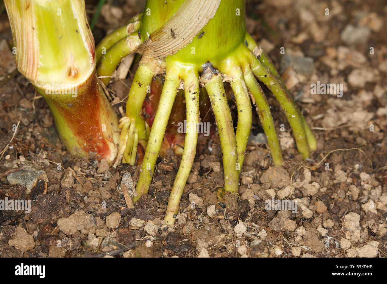 SWEETCORN PUTS OUT ADDITIONAL ARIEL ROOTS TO SUPPORT PLANT - Stock Image