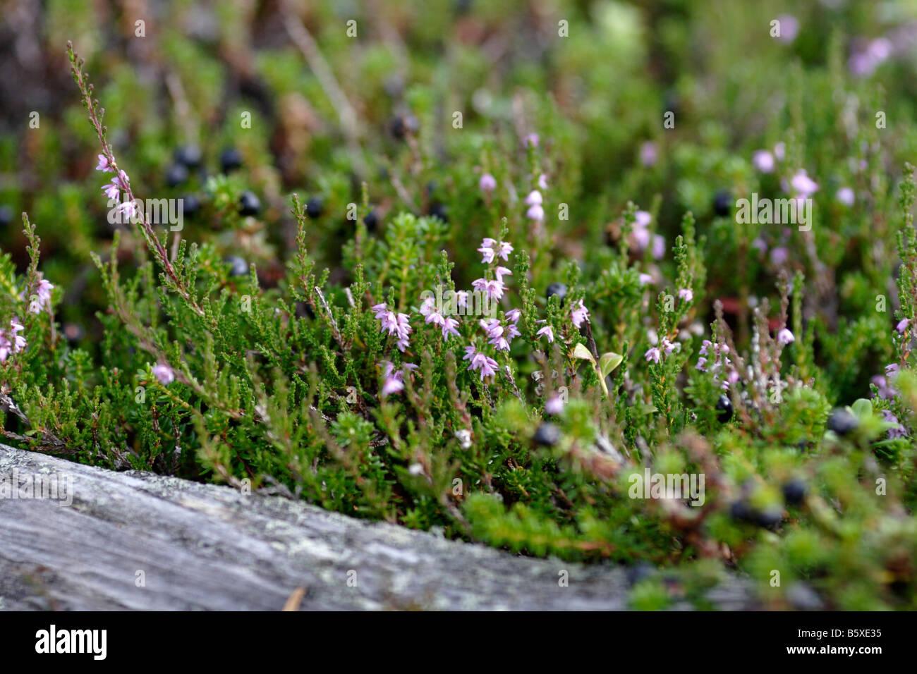 Flowering Heath in Sweden (Dalarna) - Stock Image