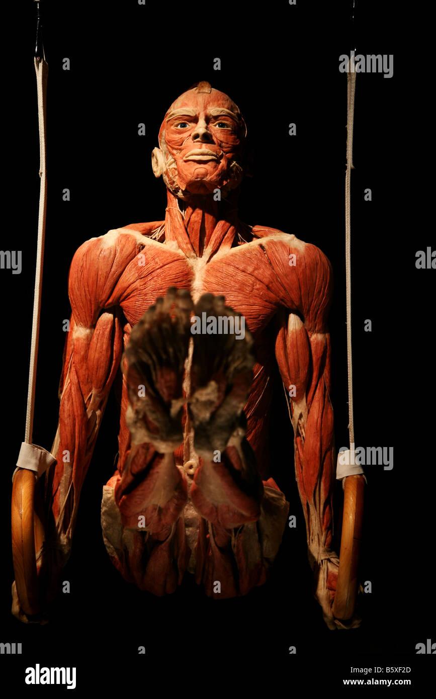 gymnast anatomy biology Gunther von Hagen Body worlds works plastination muscle flesh - Stock Image