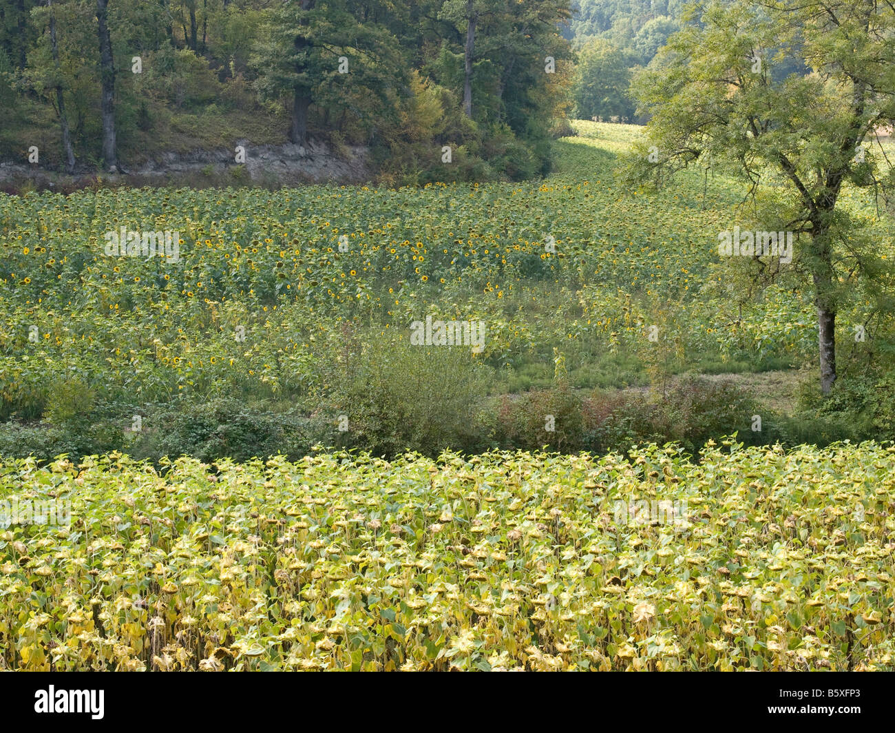 field of sunflowers in blossom Quercy Tarn et Garonne - Stock Image