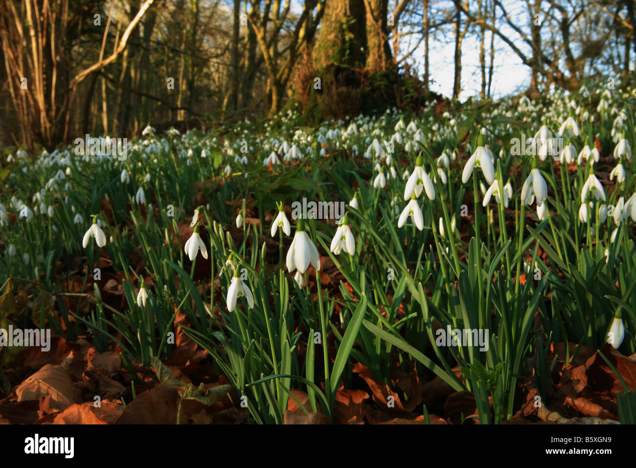 Snowdrops growing wild in woodland - Stock Image