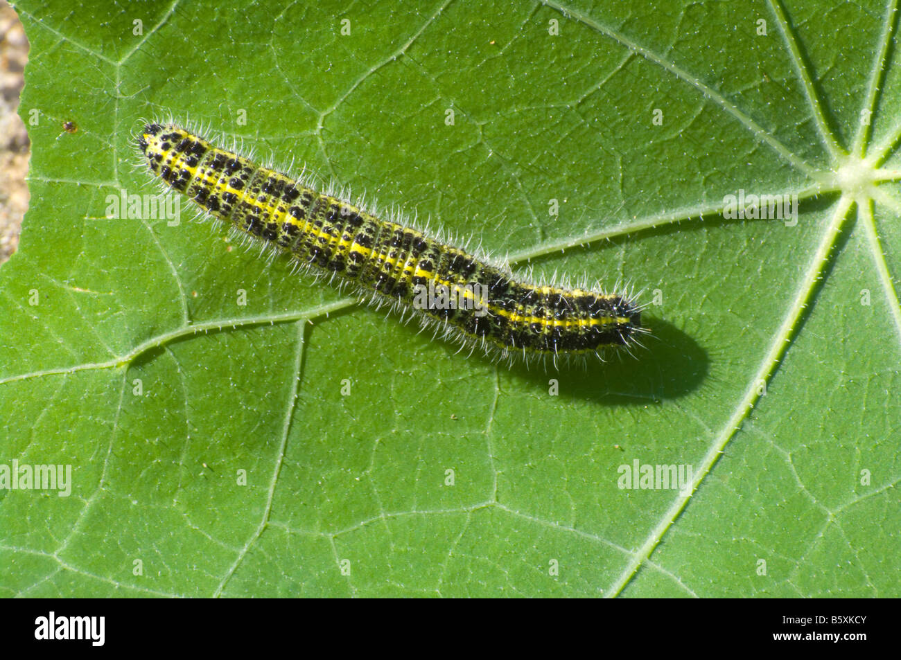 Cabbage White Butterfly Caterpillar on a Nasturtium Leaf - Stock Image