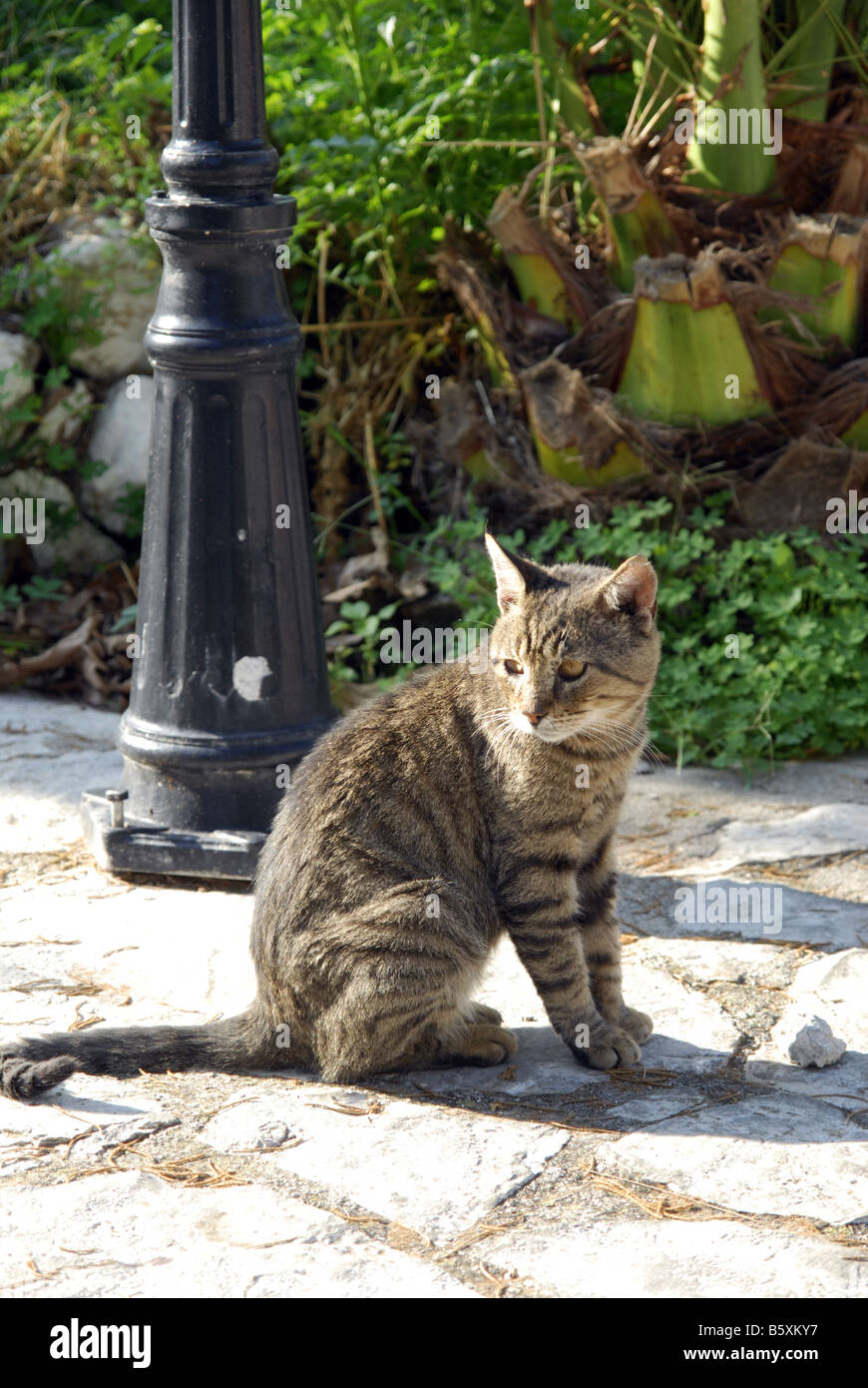 Feral cat at Assos, Kefallonia, Greek Ionian Islands - Stock Image