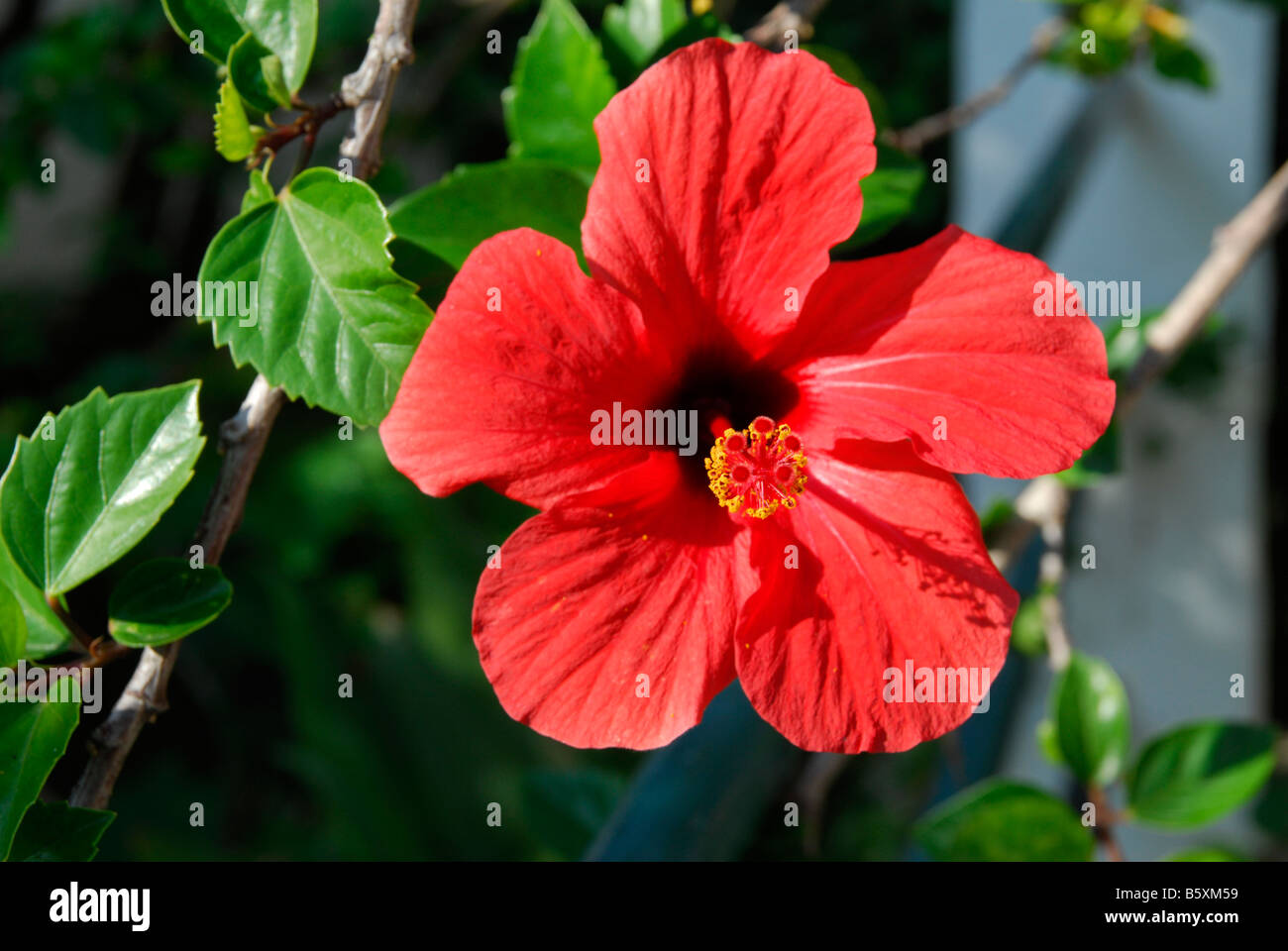 Red Hibiscus flower on Kefallonia in the Greek Ionian Islands - Stock Image