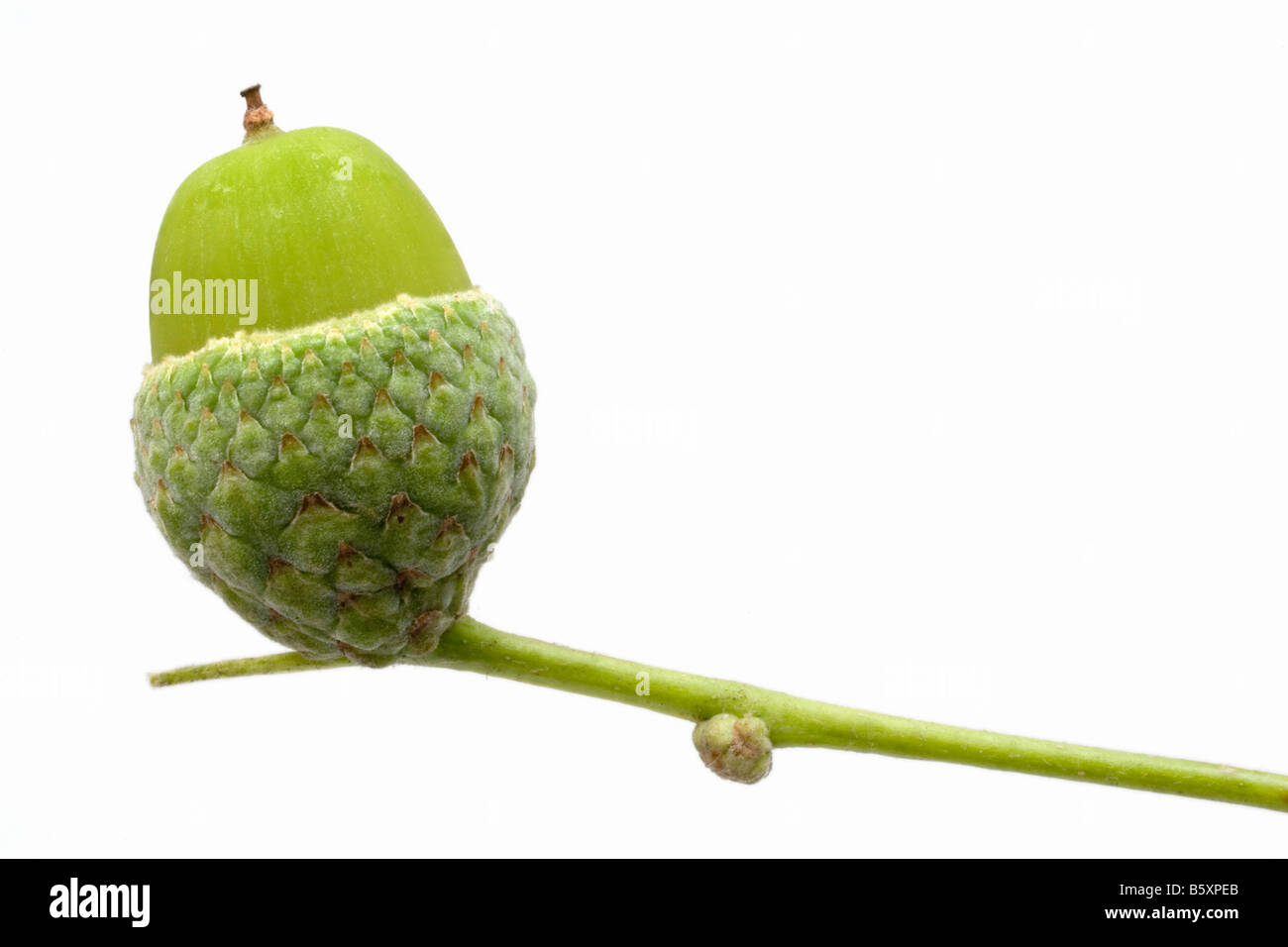 A green stem holds an 'acorn cup' in which there is a green acorn, (seed of an oak tree).  White background. - Stock Image