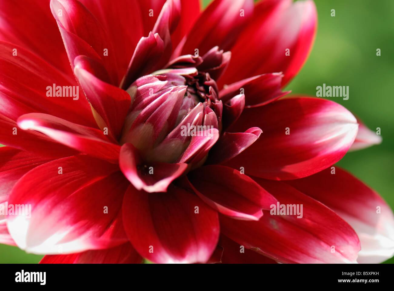 Red flower of dahlia Dahlia Russia Stock Photo
