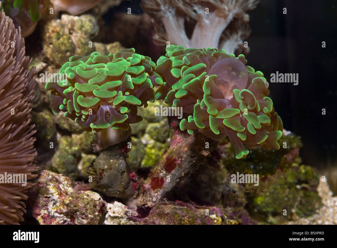 Green anchor coral Euphyllia ancora, hard coral, Indo-Pacific - Stock Image