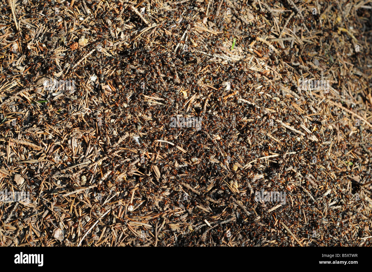 A lot of wood ants - Formica rufa L. - on an anthill. Stock Photo
