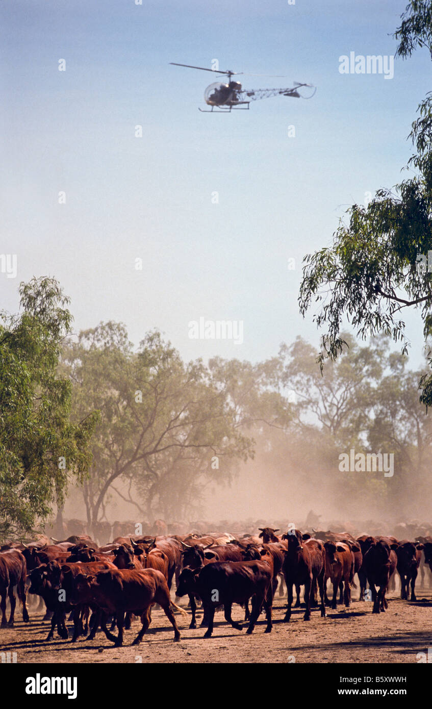 Cattle muster, outback Australia - Stock Image