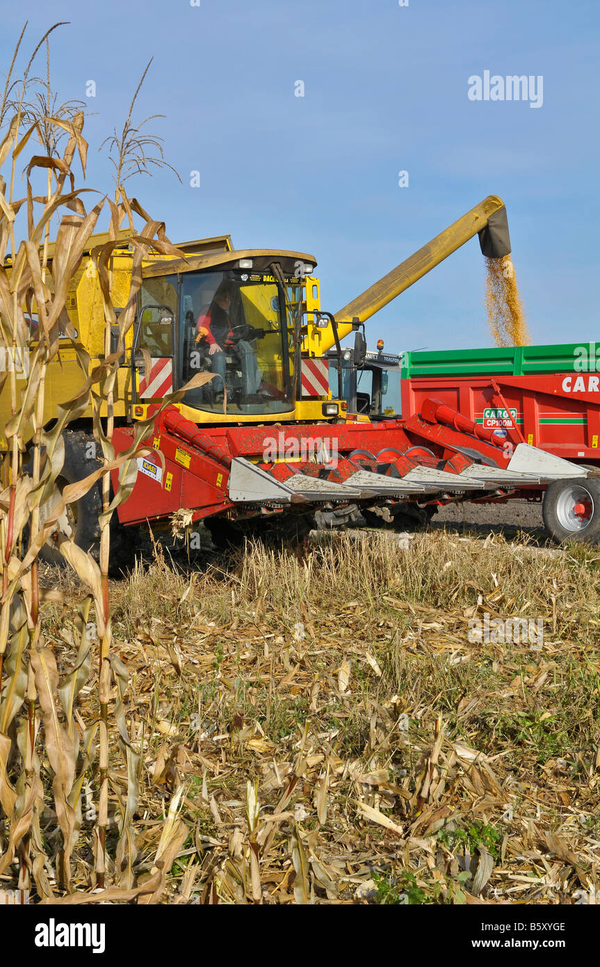 Combine harvest unloading maize (corn) in a trailer,  France. - Stock Image
