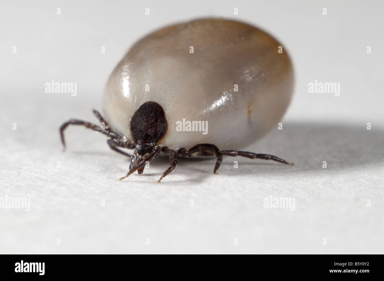 Castor Bean Tick (Ixodes ricinus), female completely bloated with blood, studio picture - Stock Image