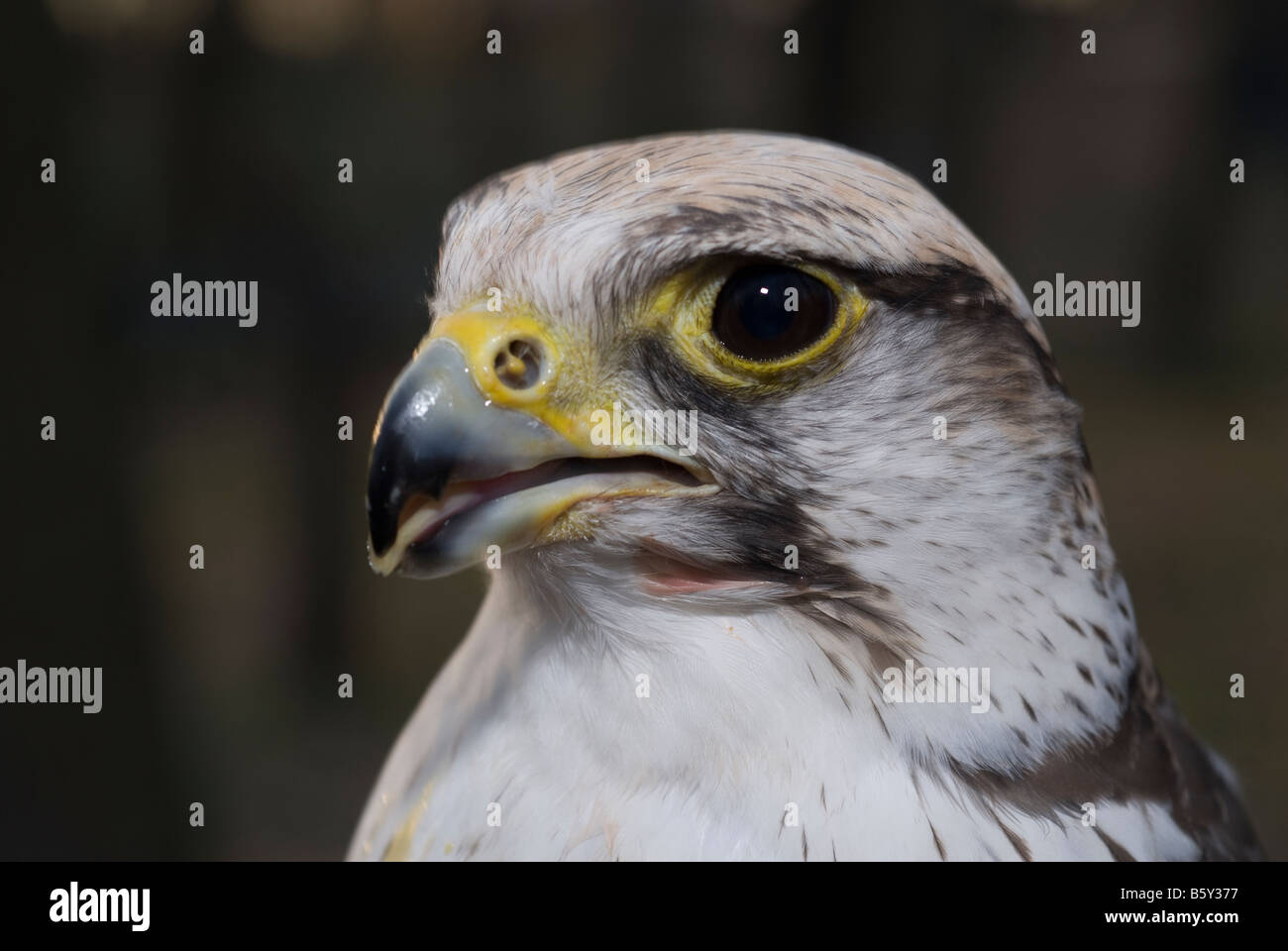 Bird hybrid Gyrfalcon Falco rusticolus and Lanner Falcon Falco biarmicus Stock Photo